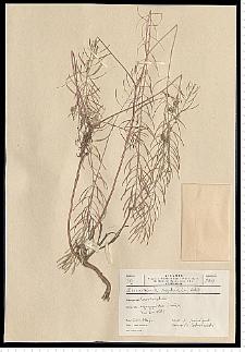 Descurainia sophia (L.) Webb ex Prantl