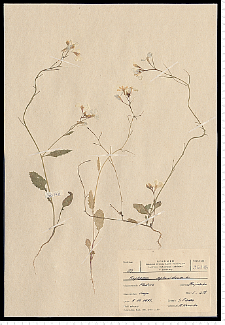 Raphanus raphanistrum L.