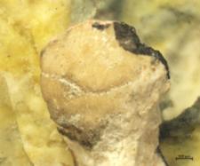 Eodromites bernchrisdomiorum