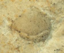 Eodromites hyznyi