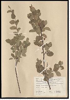 Betula humilis Schrank