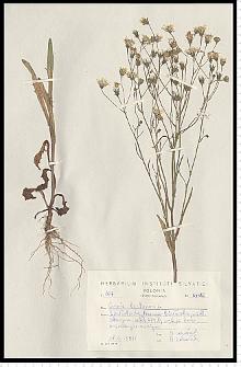 Crepis tectorum L.