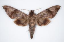Acosmeryx socrates