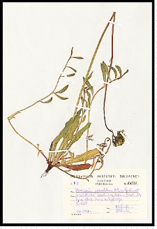 Hieracium piloselloides Vill.