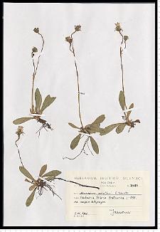 Hieracium schultesii F. W. Schultz