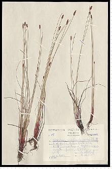 Eleocharis uniglumis (Link) Schult.