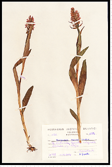 Dactylorhiza incarnata (L.) Soó