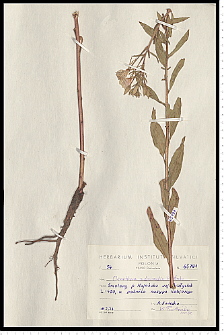Oenothera rubricaulis Kleb.