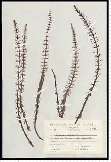 Hippuris vulgaris L.