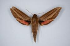 Xylophanes neoptolemus