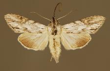 Cucullia gnaphalii (Hübner, 1813)
