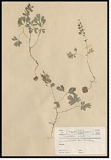 Corydalis solida (L.) Clairv.