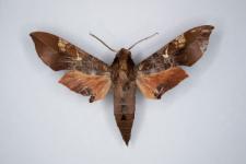 Callionima inuus