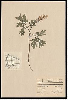 Corydalis cava Schweigg. & Körte