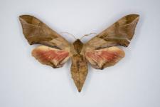 Callambulyx tatarinovi