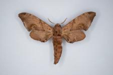 Daphnusa ocellaris
