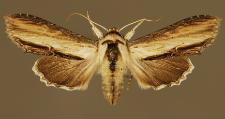 Cucullia scrophulariae (Denis & Schiffermüller, 1775)