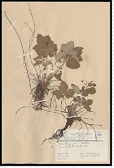 Fragaria viridis Duchesne