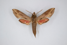 Hippotion rafflesi boerhaviae