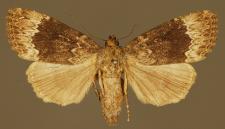 Amphipyra perflua (Fabricius, 1787)