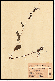 Epipactis atrorubens (Hoffm.) Besser