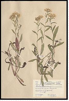 Inula britannica L.