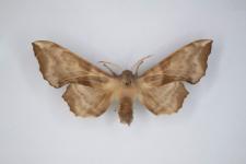 Laothe amurensis