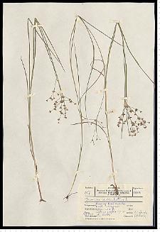 Juncus articulatus L. em. K. Richt.