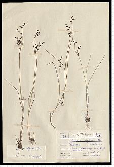 Juncus alpino-articulatus Chaix