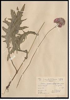 Cirsium rivulare (Jacq.) All.