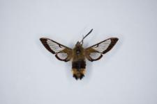 Hemaris fuciformis