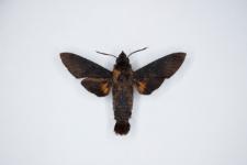 Macroglossum corythus