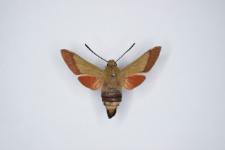 Macroglossum croatica
