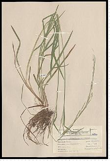 Glyceria fluitans (L.) R. Br.