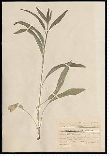 Campanula glomerata L.