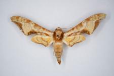 Protambulyx astygonus