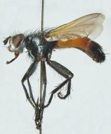 Cylindromyia brassicaria (Fabricius, 1775)