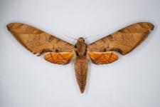 Protambulyx strigilis