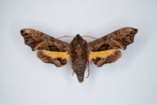 Nyceryx alophus