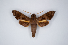 Nyceryx tacita