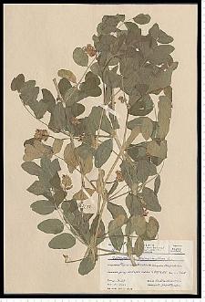 Astragalus glycyphyllos L.