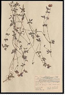 Lotus uliginosus Schkuhr