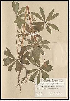 Lupinus polyphyllus Lindl.