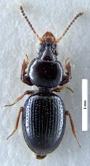 Dyschirius globosus (Herbst, 1784)