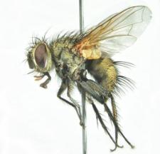 Erycia fatua (Meigen, 1824)