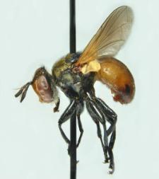 Gymnosoma dolycoridis Dupuis, 1961