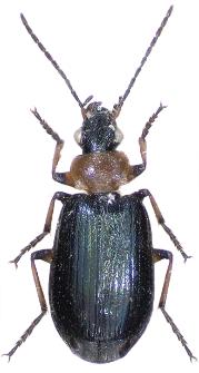 Lebia cyanocephala (Linnaeus, 1758)