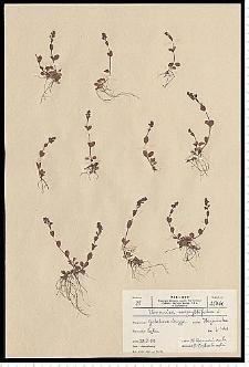 Veronica serpyllifolia L.