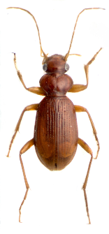 Leistus ferrugineus (Linnaeus, 1758)