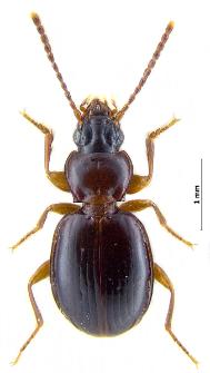 Trechus striatulus (Putzeys, 1847)